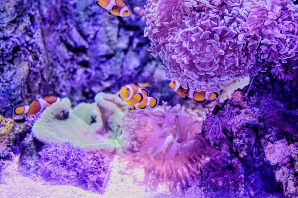 clownfish malta